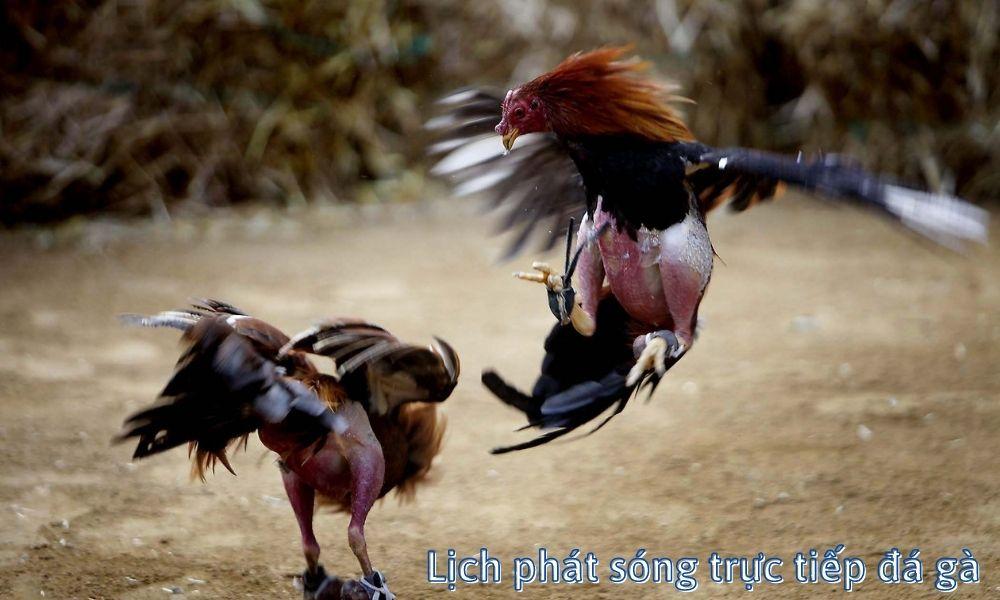Lịch phát sóng trực tiếp đá gà