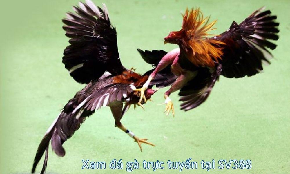 Xem đá gà trực tuyến tại SV388