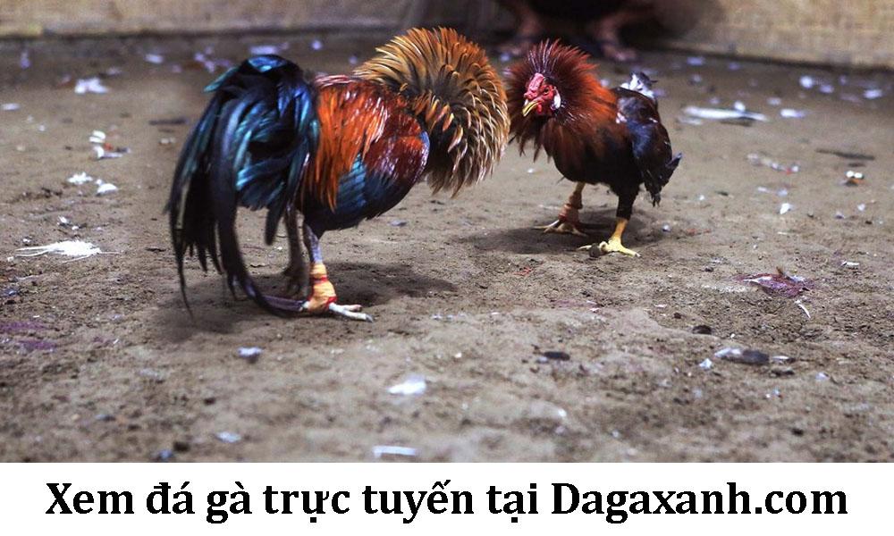 Đá gà trực tuyến dagaxanh